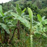 économie - Champs Mais banane plantain