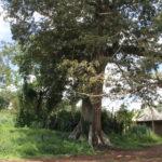 Entrée Chefferie Baloum - Le baoba